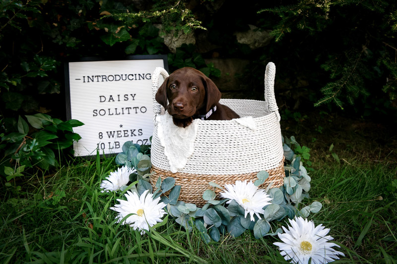 chocolate lab puppy in basket, newborn style puppy photography ©designs HOBBY photography