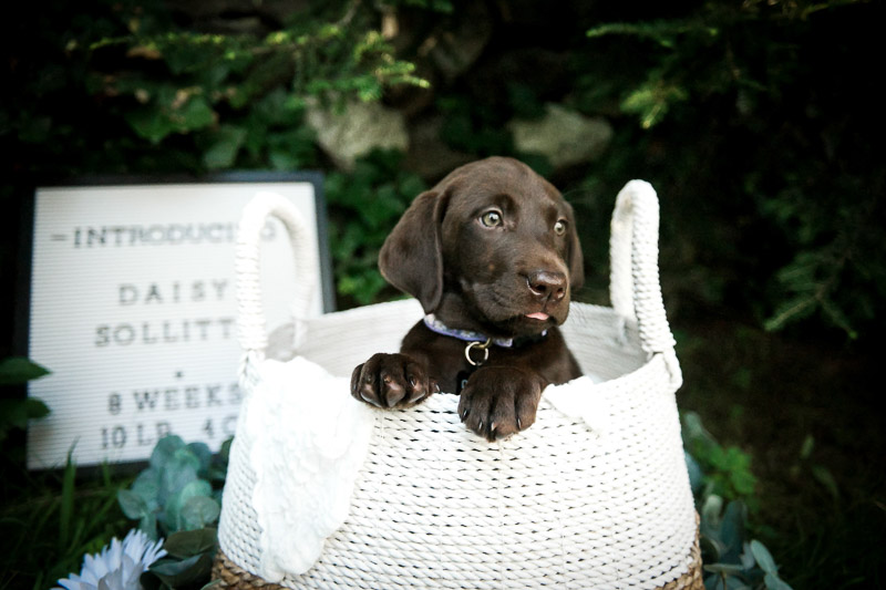 cute puppy in a basket, Medford newborn and dog photography, ©designs HOBBY photography