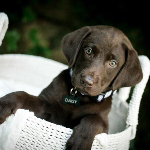 Puppy Love:  Daisy the Chocolate Labrador