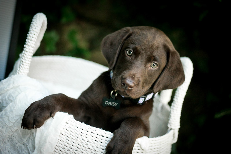 adorable chocolate lab puppy in a basket, puppy photoshoot ideas | ©designs HOBBY photography