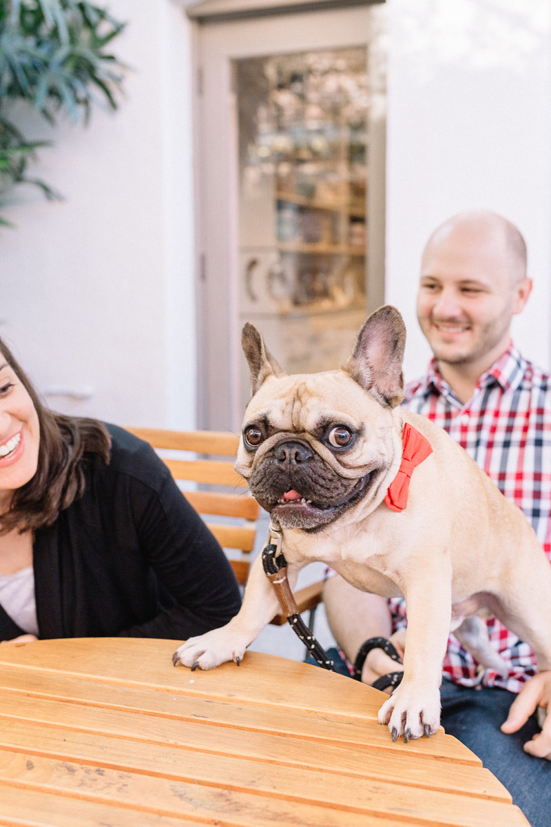 funny brown Frenchie on table, family portraits with dogs | ©Caitlin Alohilani Photography