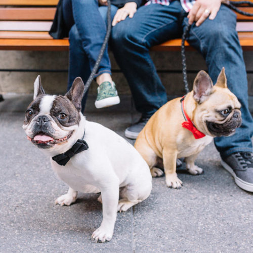 Happy Tails:  Jack and Porter the French Bulldogs