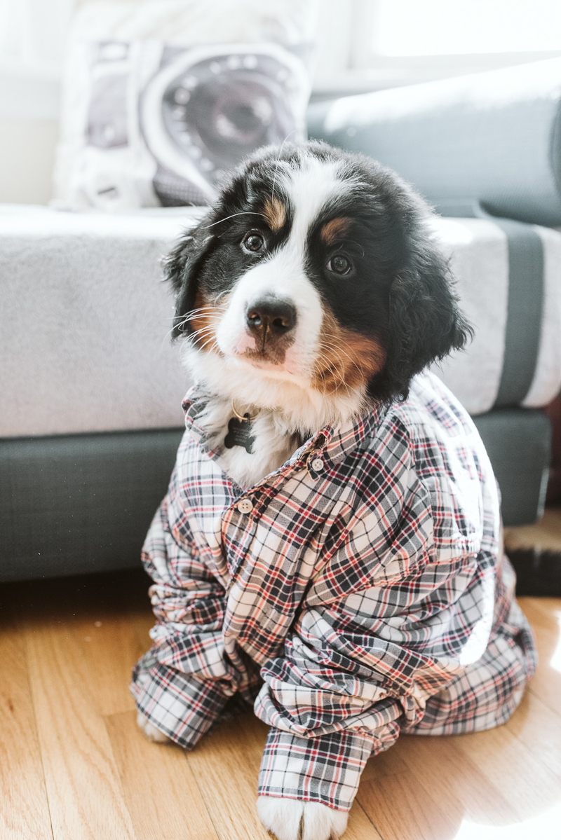 adorable Bernese Mountain Dog puppy | puppy portraits ©Gavyn Taylor Photo