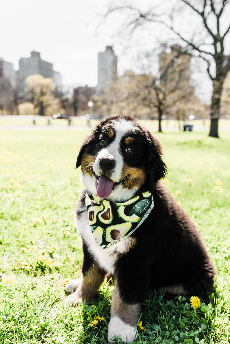 Berner pup at the park, lifestyle dog photography, Chicago, IL ©Gavyn Taylor Photo