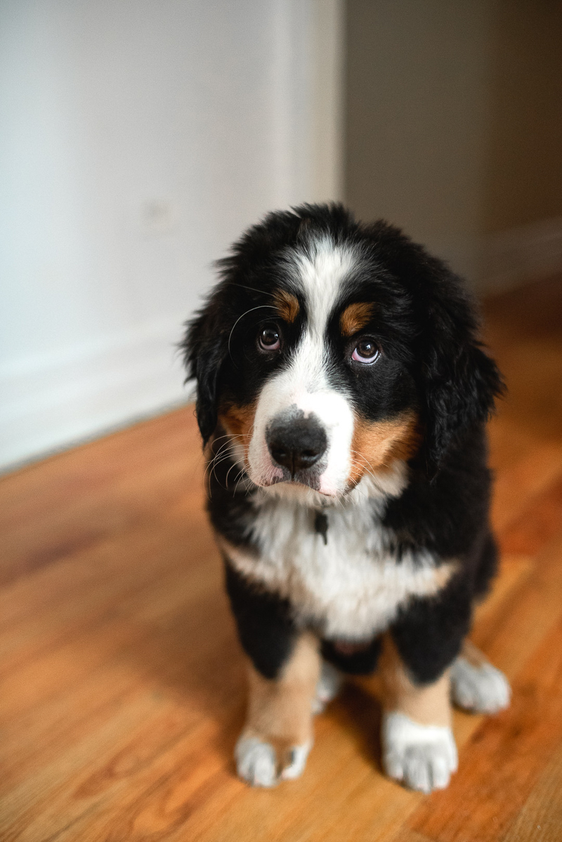 Bernese Mountain Dog, puppy eyes, pouting pup, ©Gavyn Taylor Photo, Chicago lifestyle pet photography