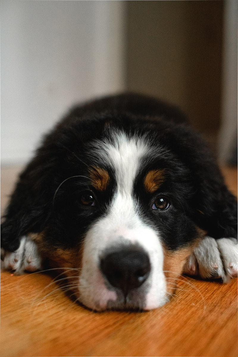 Berner pup on wood floor | ©Gavyn Taylor Photo, Chicago lifestyle pet photography