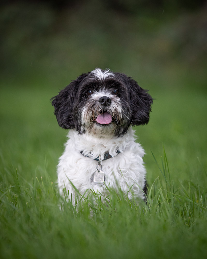 cute Havanese pup sitting in grass, ©Chase Magic Photography | Calgary lifestyle dog photographer
