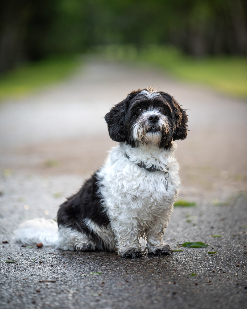 ©Chase Magic Photography | Calgary lifestyle dog photographer, Havanese