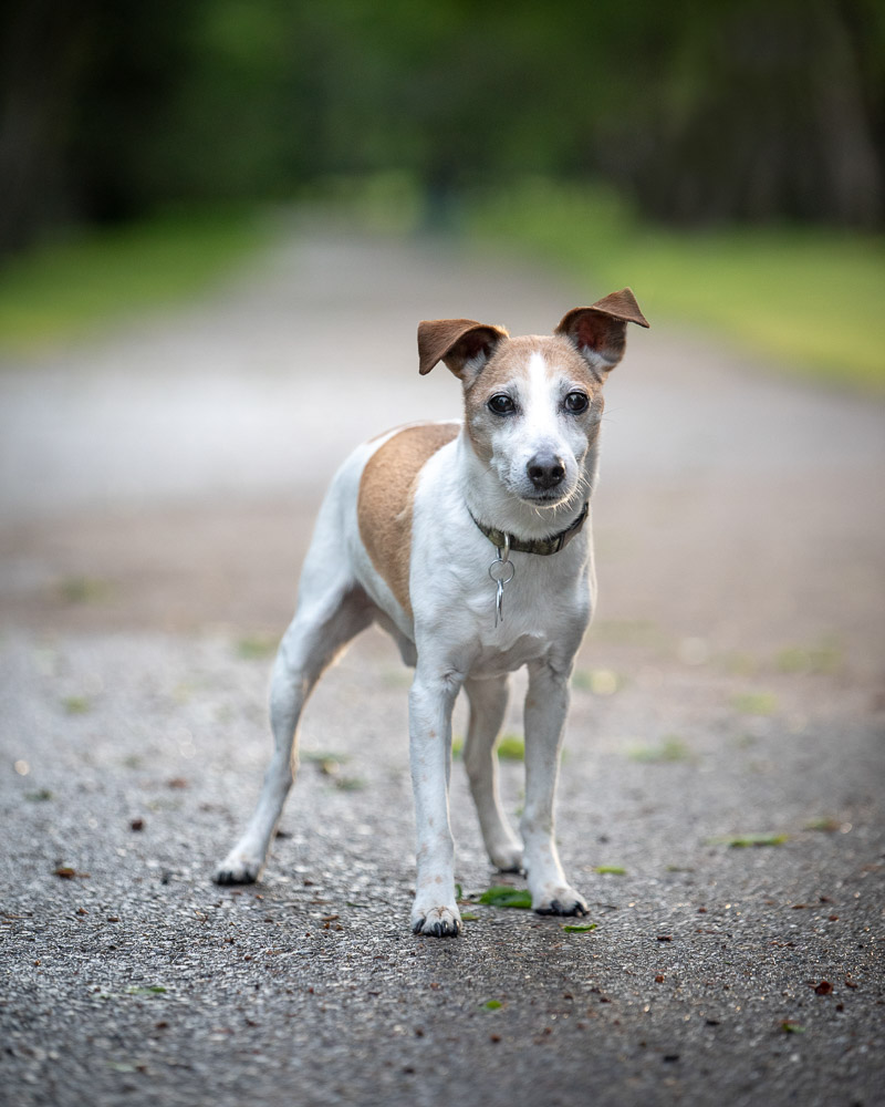 cute mixed breed dog, fox terrier ©Chase Magic Photography | Calgary lifestyle photography for pets and their people