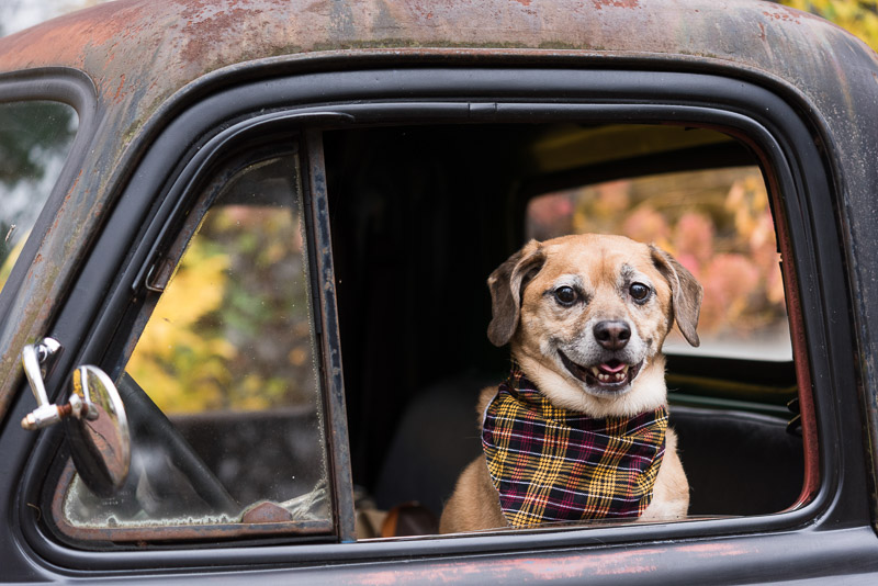 Puggle in old pickup, dogs and trucks, Syracuse pet pet photographer | Alice G Patterson Photography