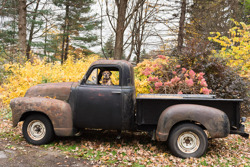 small mixed breed in vintage truck, '51 Chevy pickup, Lifestyle dog photography | Alice G Patterson Photography
