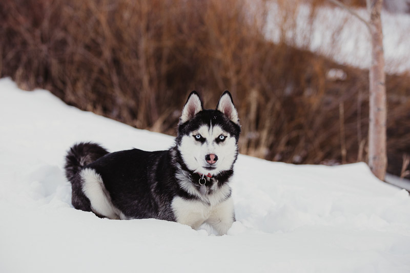 Husky lying in the snow, lifestyle dog portraits, | ©Good Morrow Photography, Arvada, CO