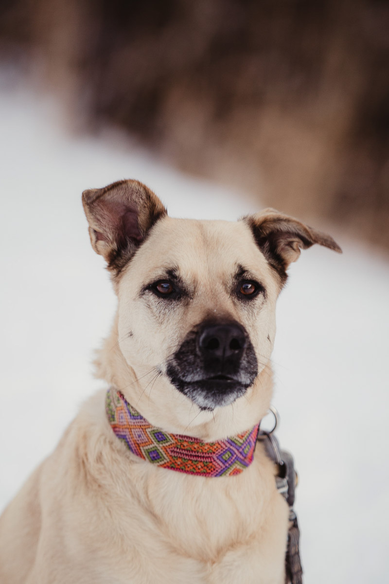 beautiful mixed breed dog in snow ©Good Morrow Photography | Arvada,, Colorado