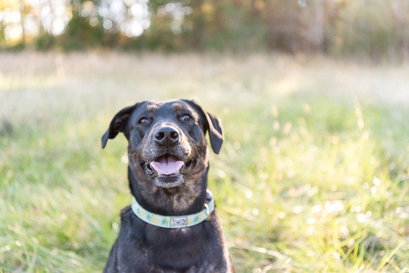 happy mixed breed sitting in field, lifestyle dog photography ideas | ©Tasha Barbour Photography