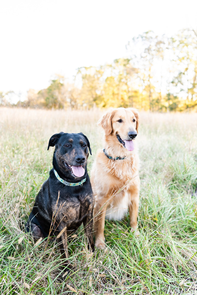 lifestyle dog photography, mixed breeds sitting in field, ©Tasha Barbour Photography | Troutman, NC
