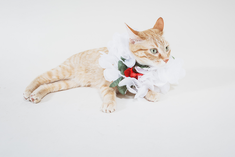 orange cat wearing fancy collar, | ©Christina W Kroeker Creative studio pet photography-holiday