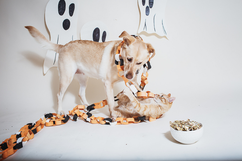 dog and cat playing with Halloween paper chain, studio pet portraits, Winnipeg ©Christina W Kroeker Creative
