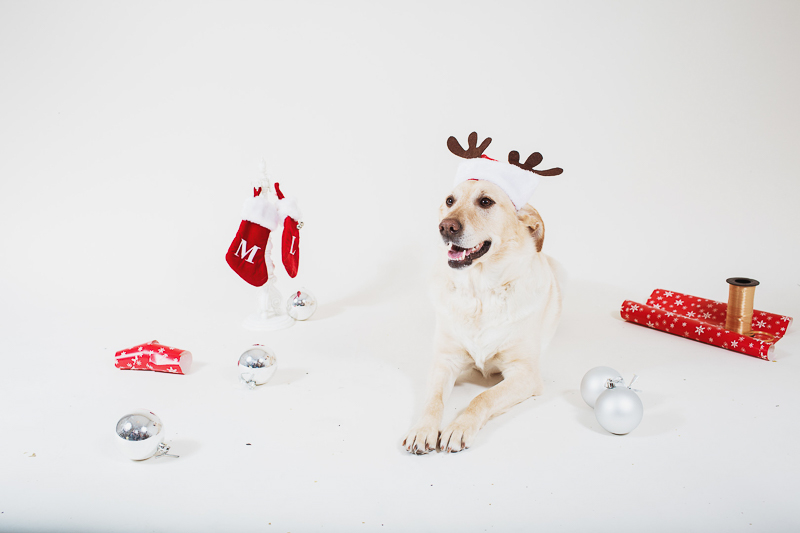 lab wearing antlers, holiday studio pet photography, ©Christina W Kroeker Creative