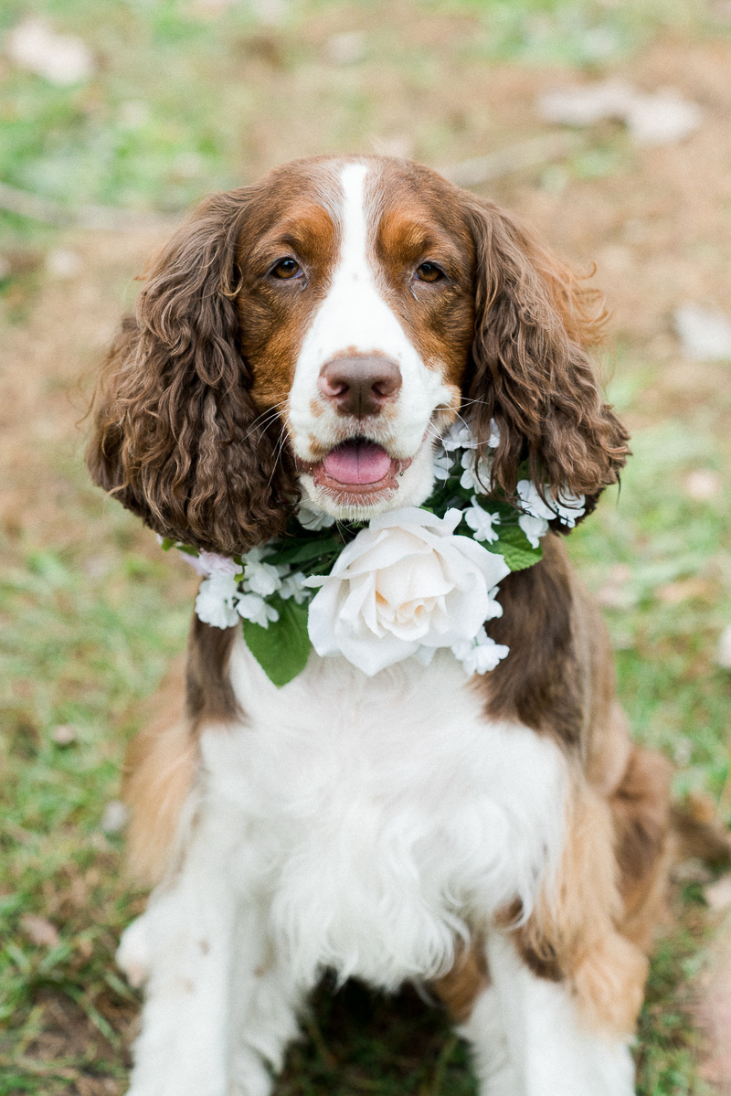 Engaging Tails Pippa The Springer Spaniel Chicago Daily