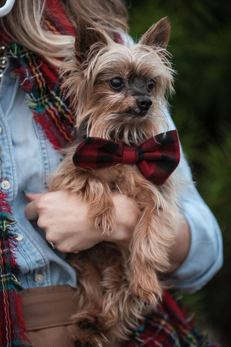 cute Yorkie wearing buffalo plaid bow tie, including dogs in holiday pictures Candice Brown Photography
