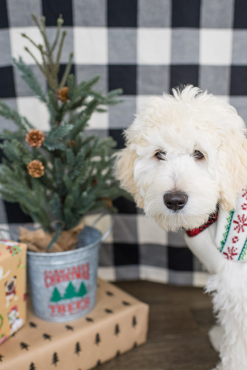 cute puppy ready for Christmas, ©Shannon May Brown