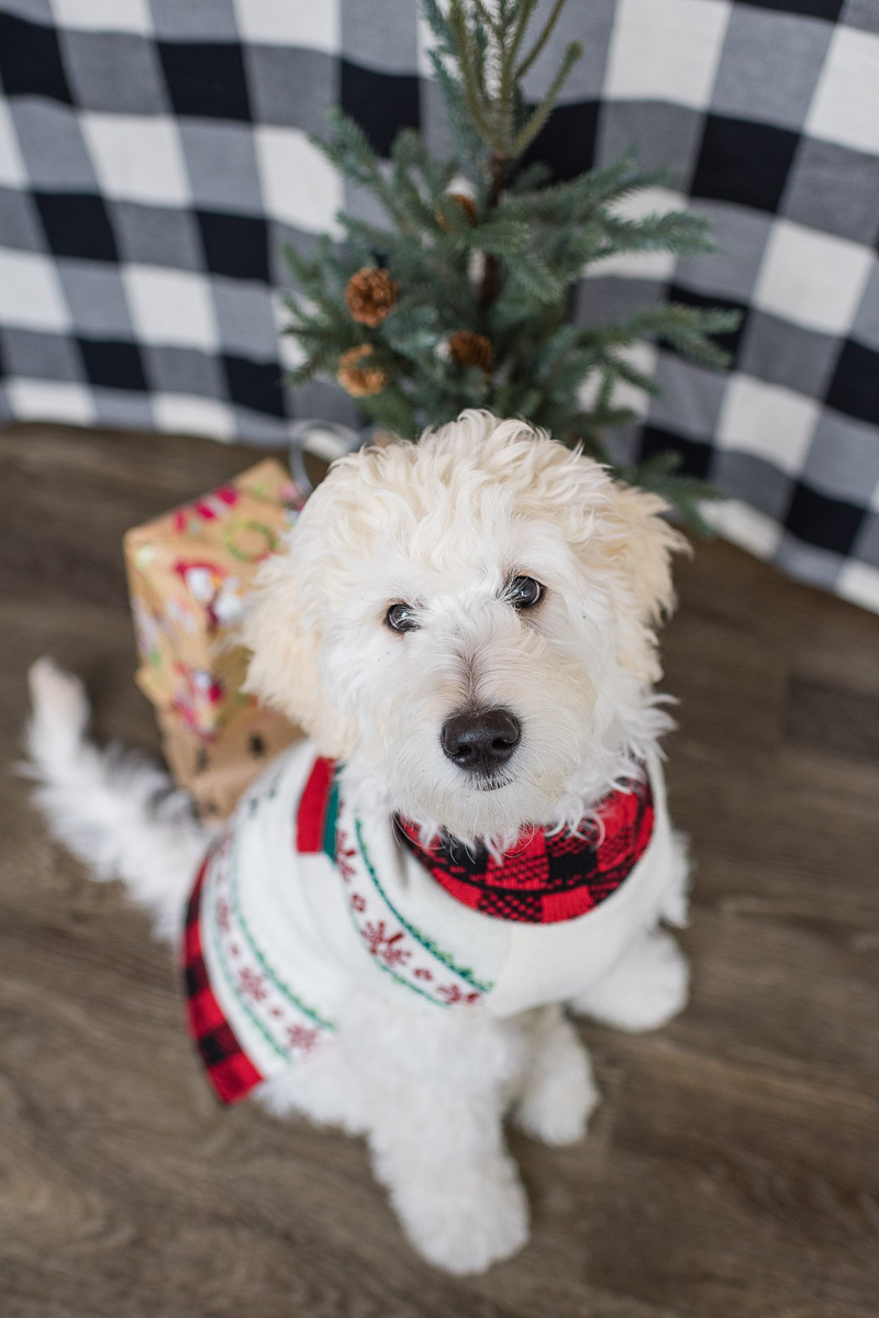 doodle wearing a sweater, holiday portrait with a puppy, ©Shannon May Brown