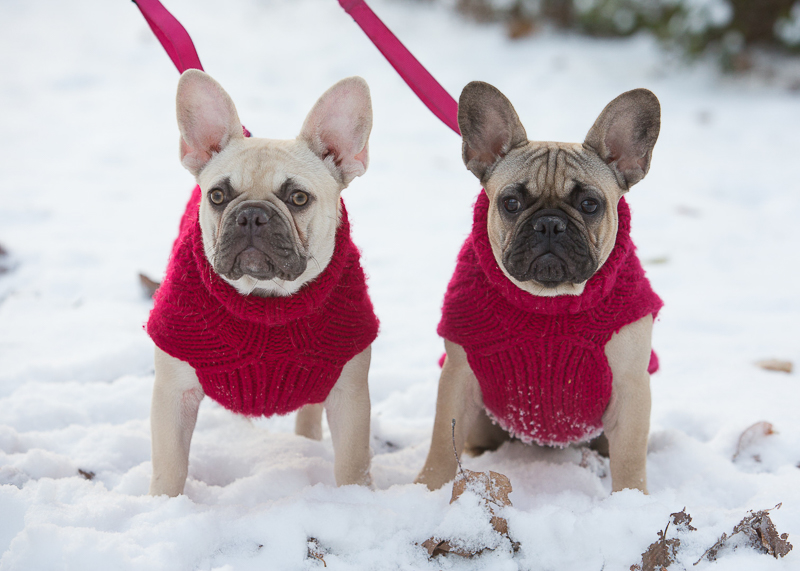French Bulldogs wearing red sweaters in the snow, holiday photos with dogs ideas ©Laurie Rhodes [Photographer]