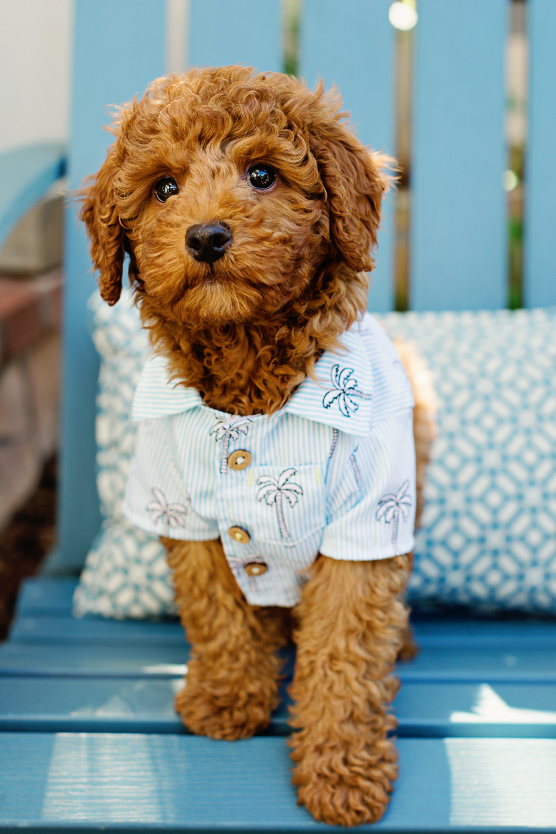adorable mixed breed puppy in palm tree shirt, labradoodle, ©Jennifer Brennan Photography | Newport Beach lifestyle dog photoshoot