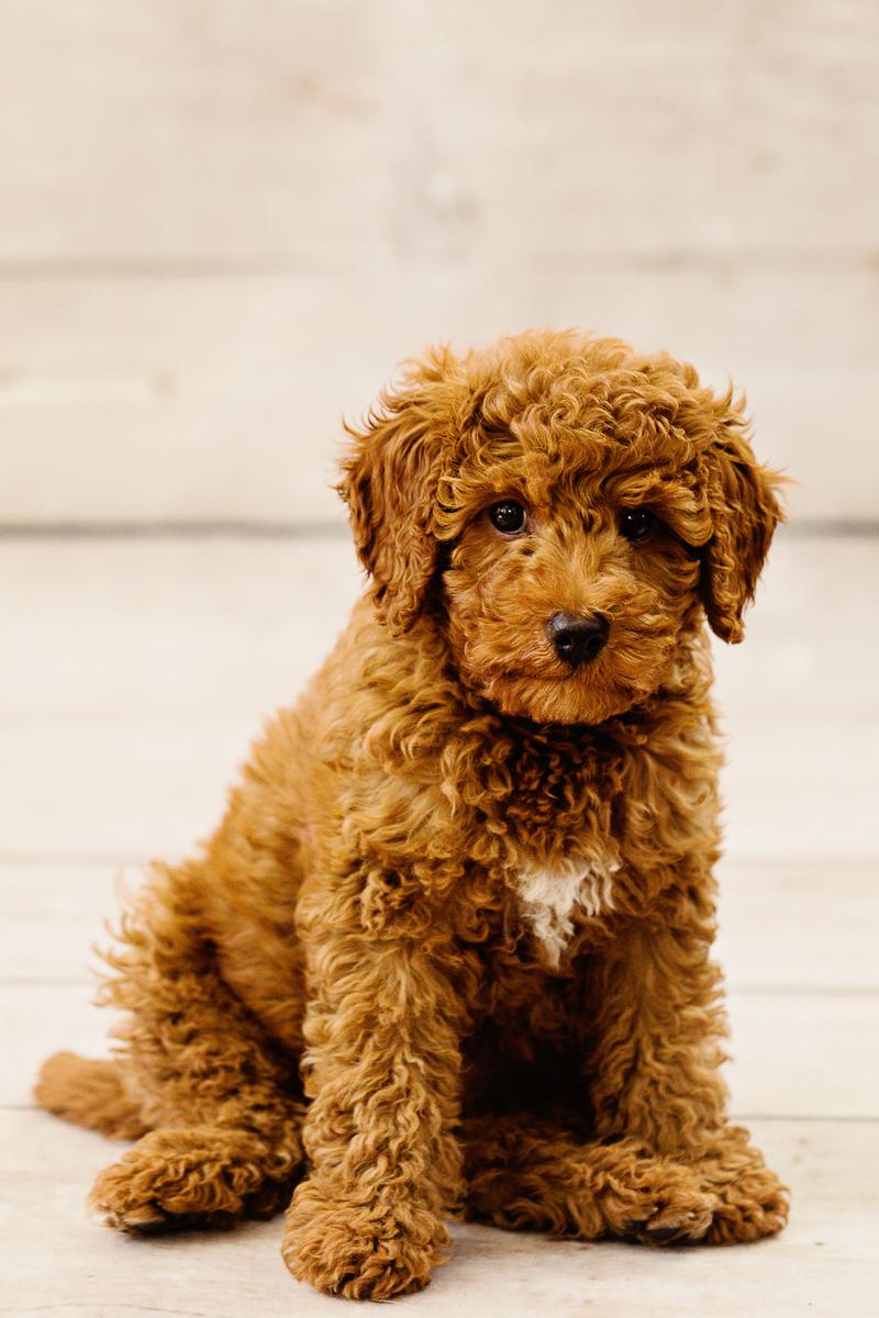 labradoodle puppy, adorable puppy portraits | Jennifer Brennan Photography