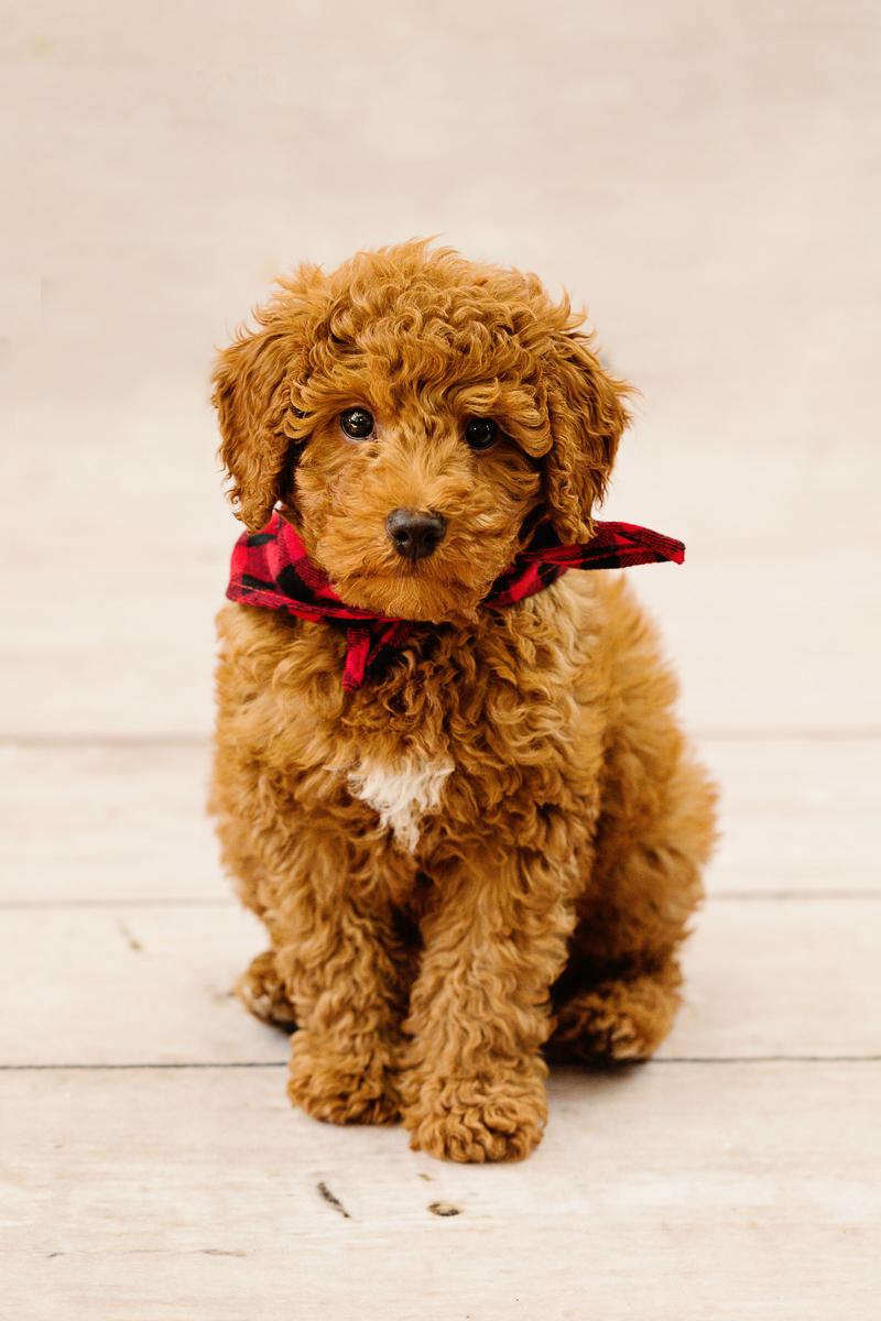 cute puppy wearing buffalo plaid bandana ©Jennifer Brennan Photography | Newport Beach dog photography