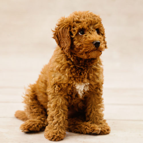 Puppy Love:  Kingston the Labradoodle