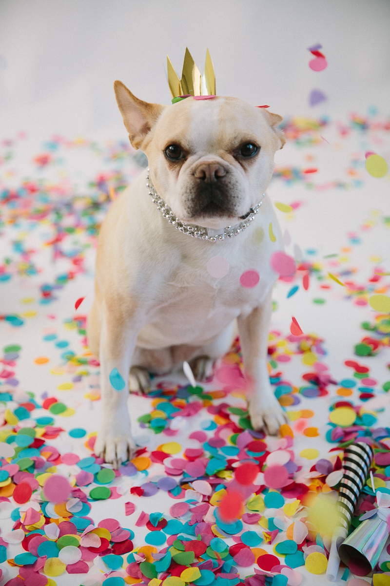 French Bulldog wearing New year's Eve crown, confetti, New Year's Eve photoshoot | ©Maine Tinker Photography, Freeport, Maine
