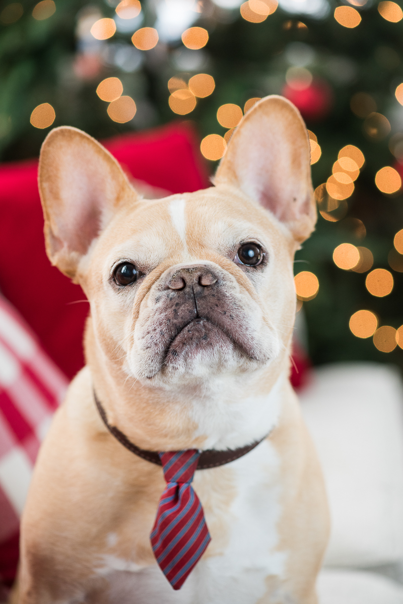 handsome Frenchie wearing necktie, holiday photos with dogs ©Alice G Patterson Photography