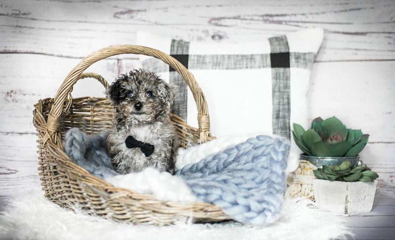 newborn styled puppy portraits, | designs HOBBY Photography | Boston MA pet portraits