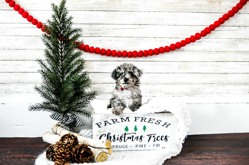 Adorable puppy, holiday photos with dogs, ©designs HOBBY Photography