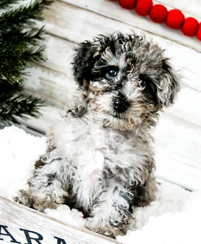 holiday photos with dogs ideas, toy poodle puppy | designs HOBBY Photography