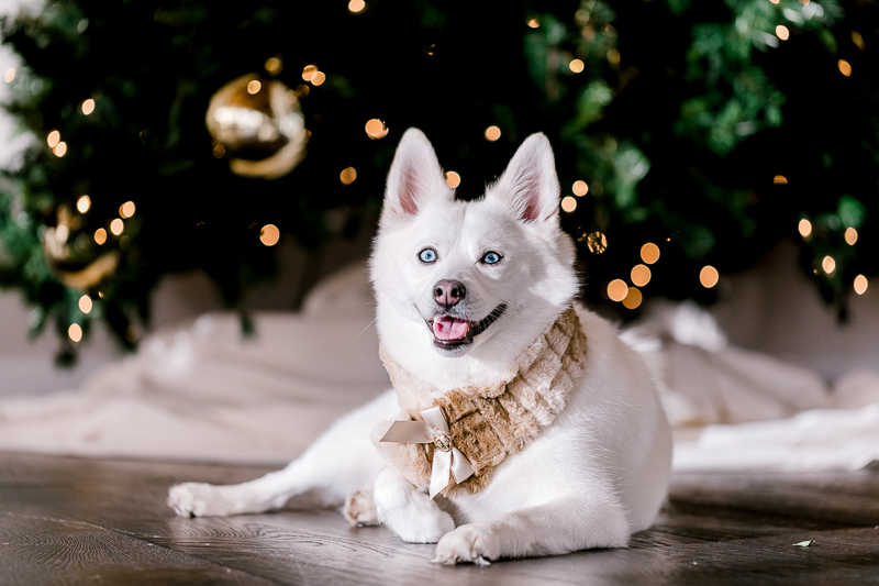 studio dog portraits, holiday photo with white dog, Pomsky | ©Danyel Stapleton Photography, Rhode Island
