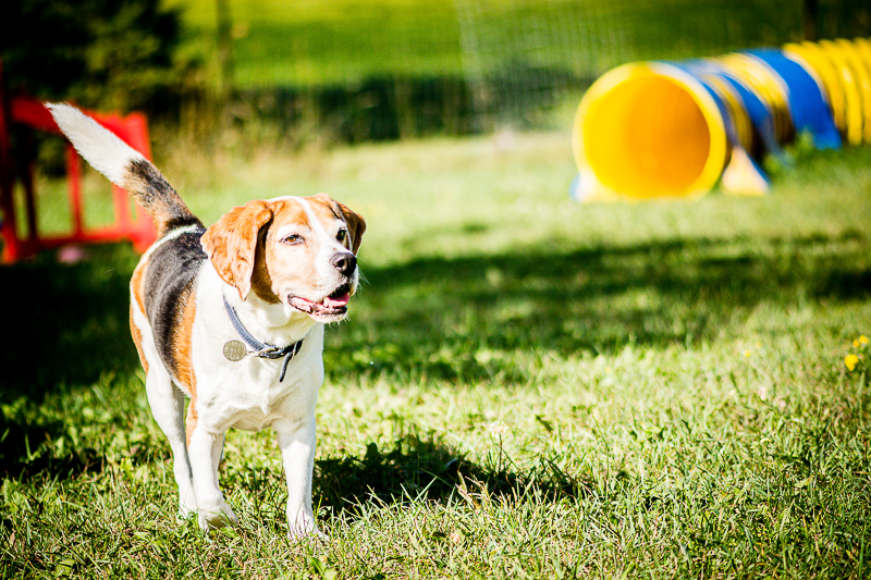 senior Beagle, lifestyle pet photography ©Beth Photography | Ontario, Canada