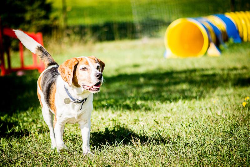 senior Beagle, lifestyle pet photography ©Beth Photography | Ontario, Canada