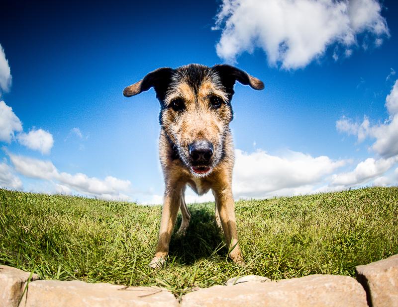 senior Shepherd mix, fun pet portraits ©Beth Photography | Ontario, Canada