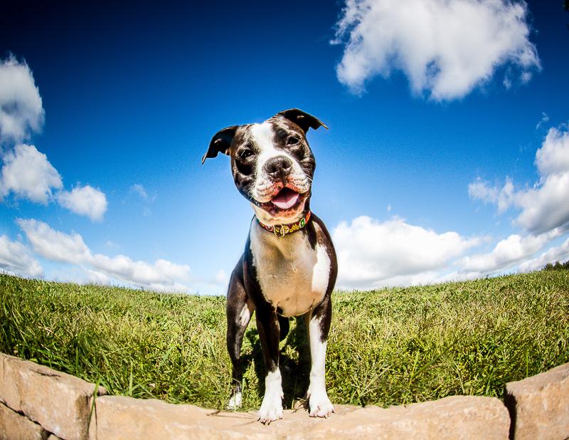 Staffy mix, ©Beth Photography | Ontario, Canada pet photographer
