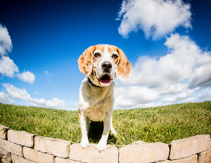 senior Beagle standing on wall, wide angle, ©Beth Photography | Ontario, Canada dog photographer