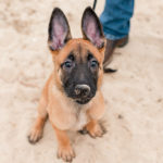 Puppy Love:  Espen the Belgian Malinois Shepherd