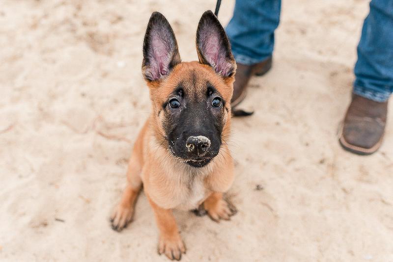 adorable Belgian shepherd puppy on sandy beach, ©Catherine Crane Photography
