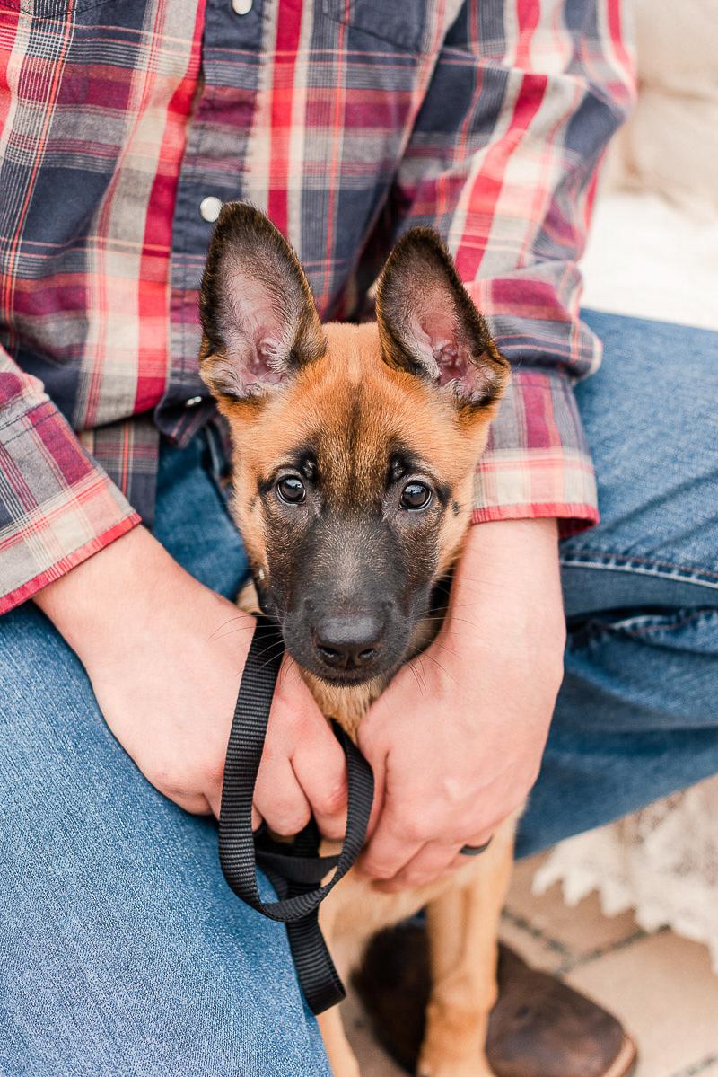 Belgian Malinois Shepherd puppy, lifestyle pet portraits | ©Catherine Crane Photography