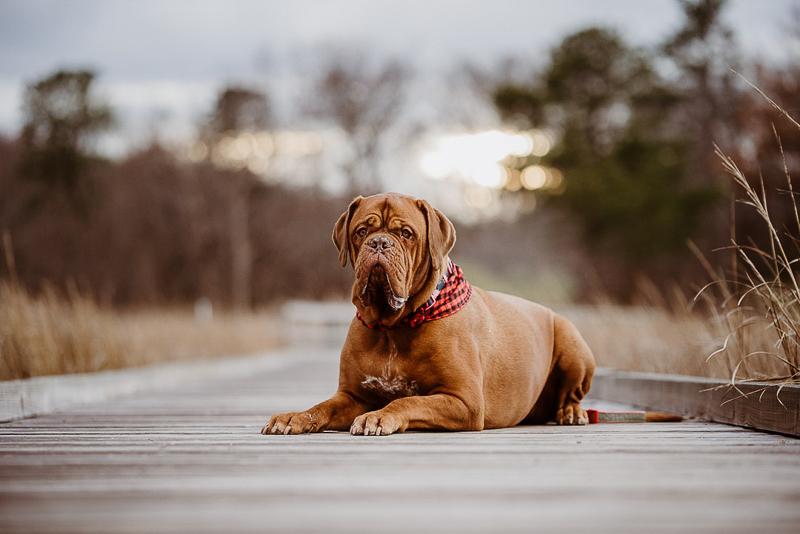 Dogue De Bordeaux wearing buffalo plaid bandana, Erin Cynthia Photography