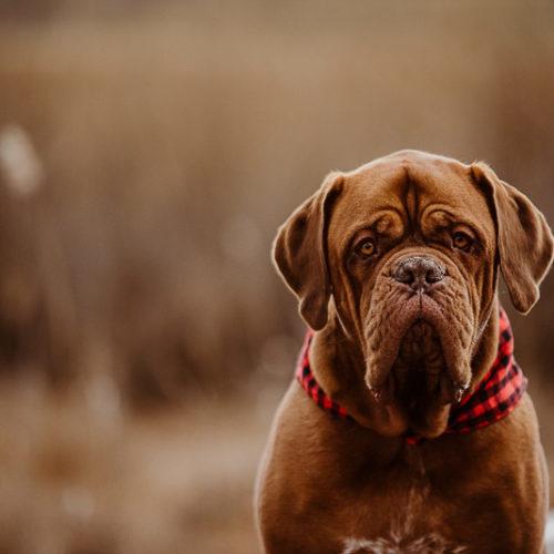 Dogue De Bordeaux wearing buffalo plaid bandana, Erin Cynthia