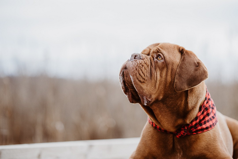 Dogue De Bordeaux starting to drool, ©Erin Cynthia Photography
