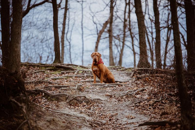 big dog sitting on hiking trail, dog photoshoot ideas, lifestyle dog photography | ©Erin Cynthia Photography, NJ family and pet portraits