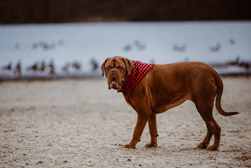 big dog wearing buffalo plaid bandana at water's edge, ©Erin Cynthia Photography | lifestyle dog photography, Cheesequake State Park, NJ